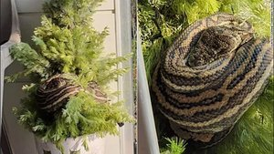 191213055509-02-three-foot-snake-in-xmas-tree-exlarge-169.jpg