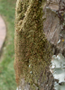 New_Tree_Moss.png